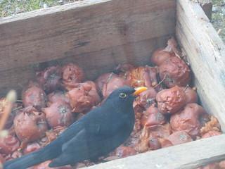 Musträstas maiustab õuntega / Common blackbird likes apples