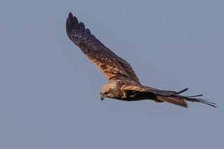 Marsh Harrier   by PINNACLE PHOTO