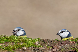 2 Bluetits :-) | by Mike.Pursey