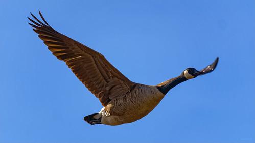 Canada goose/Kanadagans | by Apertur1