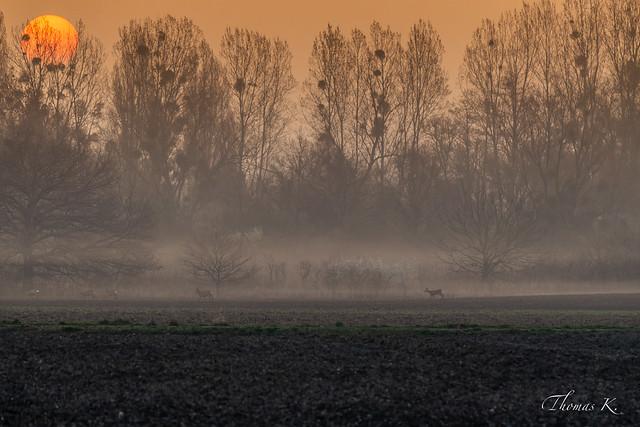 Chevreuils et lever de soleil
