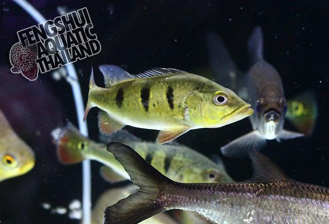Tucanare Peacock Bass