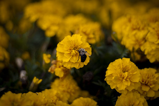 Bee & Flowers | by pmadel12