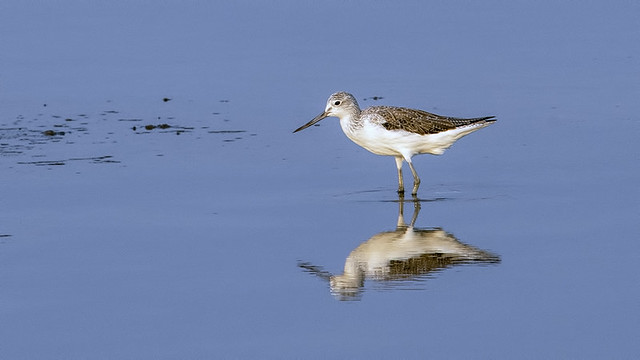 Thailand: Greenshank and His Mirror