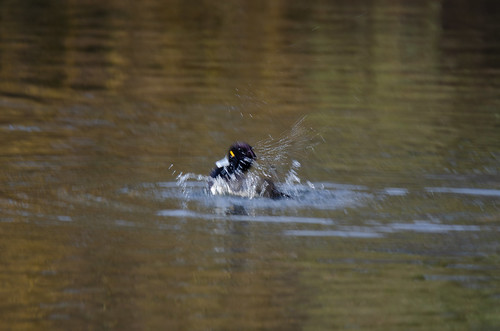 Tufted duck splashing, West Park