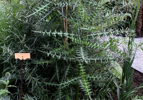 Acanthus arboreus - acanthe arborescente 45628109265_6510e192e6