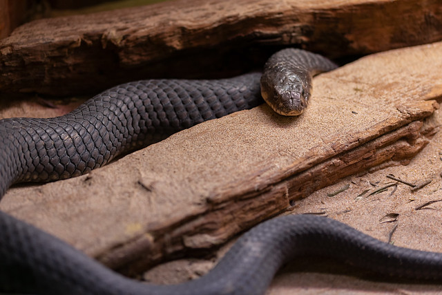 Cobra Parda Africana