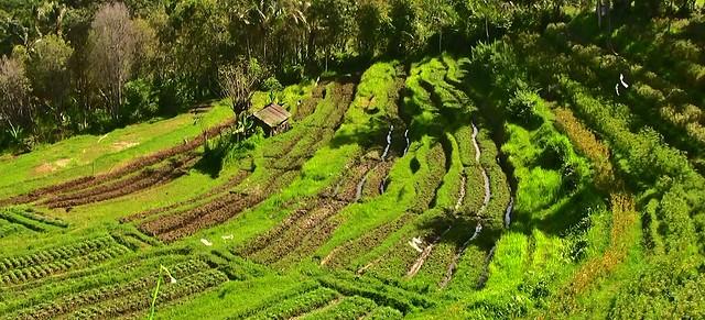 INDONESIEN, Bali ,unterwegs nach Klungkung (Reisterrassen) 18027/11264
