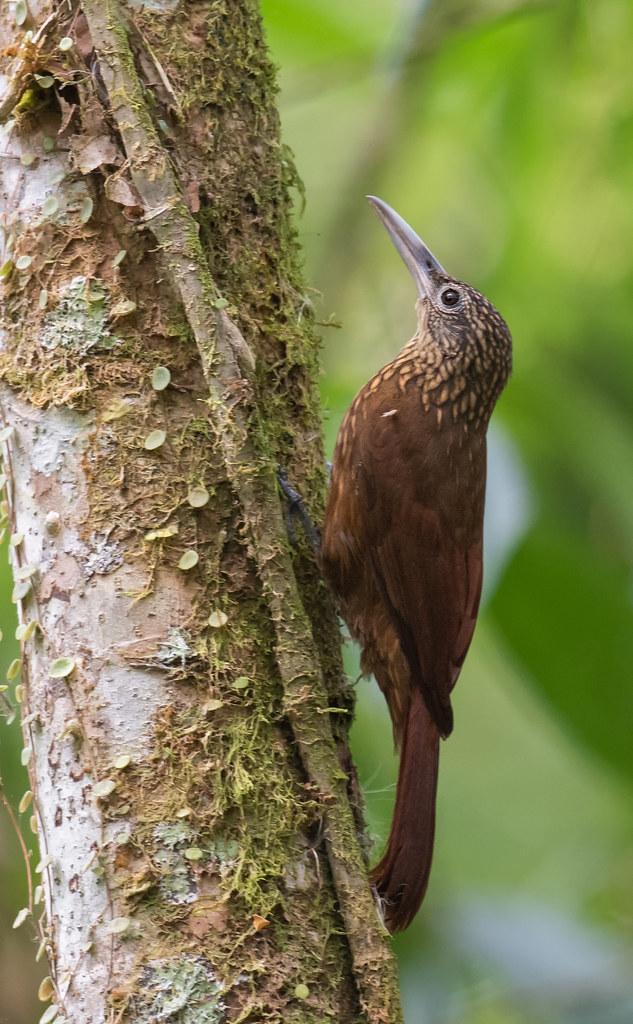 Xiphorhynchus guttatus - Buff-throated Woodcreeper - Trepatroncos Silvador 01