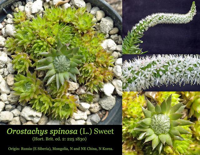 Orostachys spinosa (collage)
