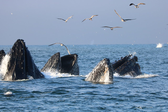 Humpback Whales lunge feeding in Monterey Bay, California