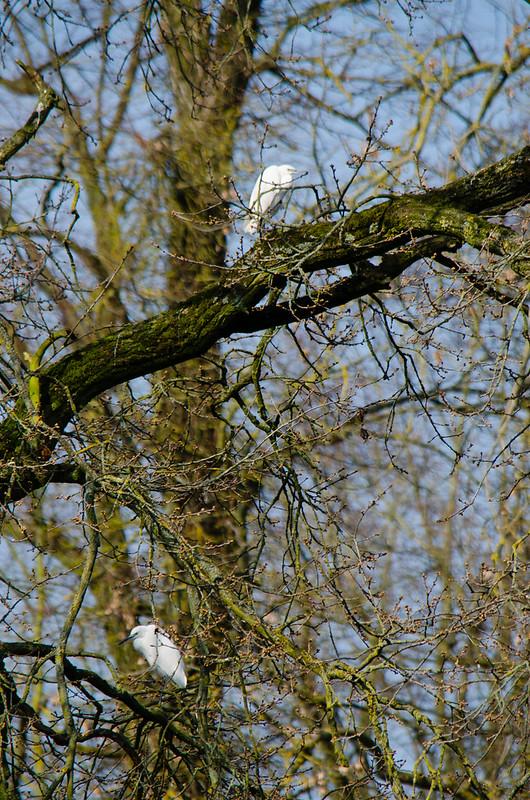 Little egrets, Pendeford Mill