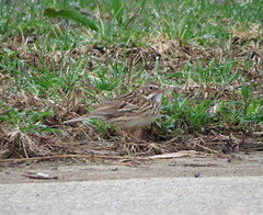 Vesper Sparrow/ Armleder Park/ 4-6-2019