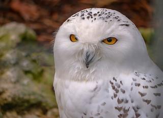 Wetter Owl