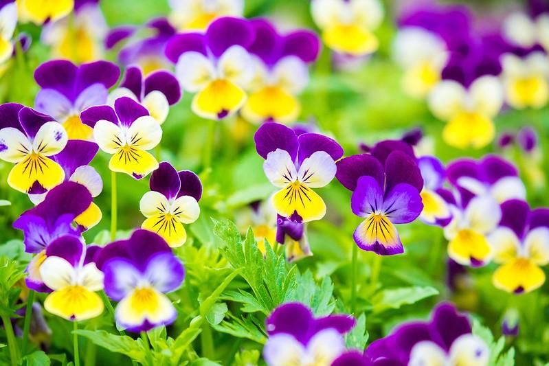 Обои яркие, анютины глазки, виола картинки на рабочий стол, раздел цветы - скачать