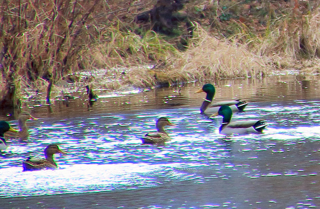 Mallards at Mill Pond Wetlands - Boxley Valley, Northwest Arkansas