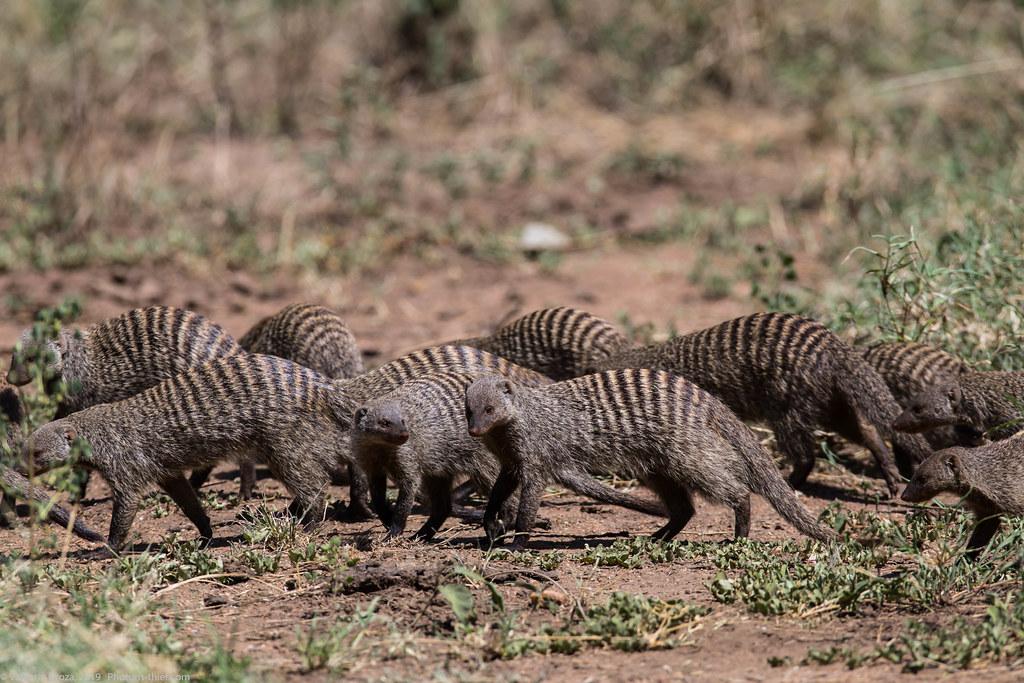 manguste Serengeti sep18_08_med