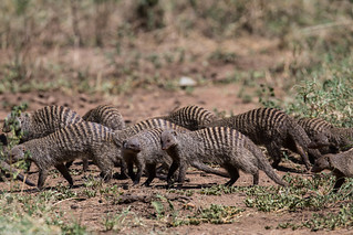 manguste Serengeti sep18_08_med   by Valentin Groza