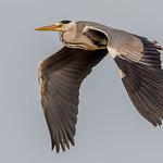 DSC7851  Grey Heron..