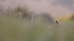 Moussier's Redstart - Diademrotschwanz