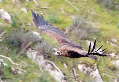 Black Vulture at Pena Falcon, Monfrague