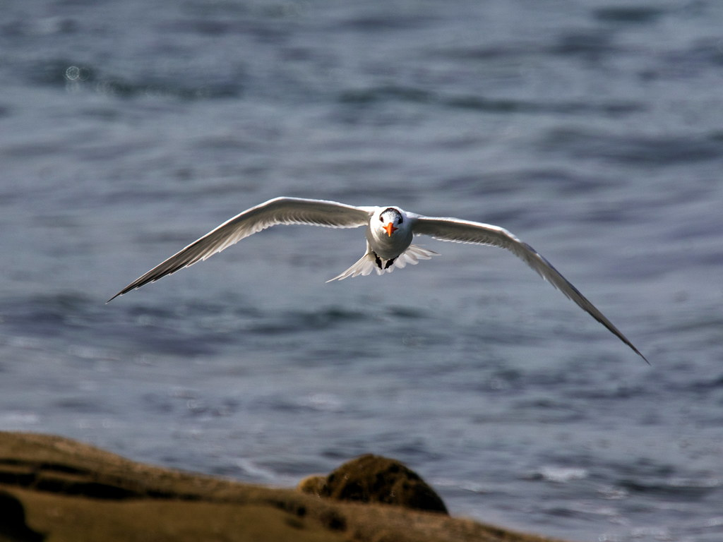 Royal Tern_7
