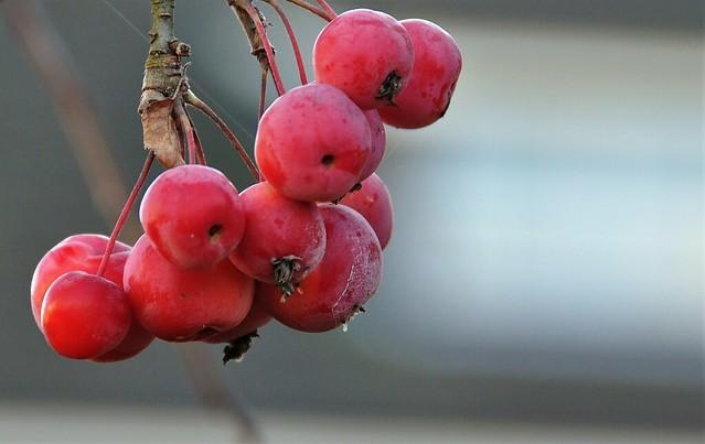 Japanse wilde appel (Malus floribunda)....on Explore