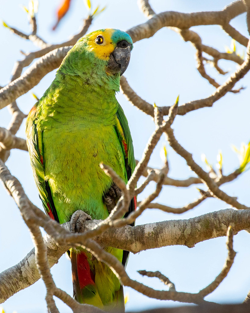 PARROT, Turquoise-fronted