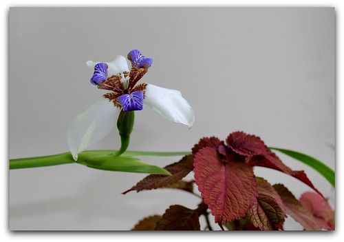 Neomarica gracilis - Page 2 40492430993_aa10859522