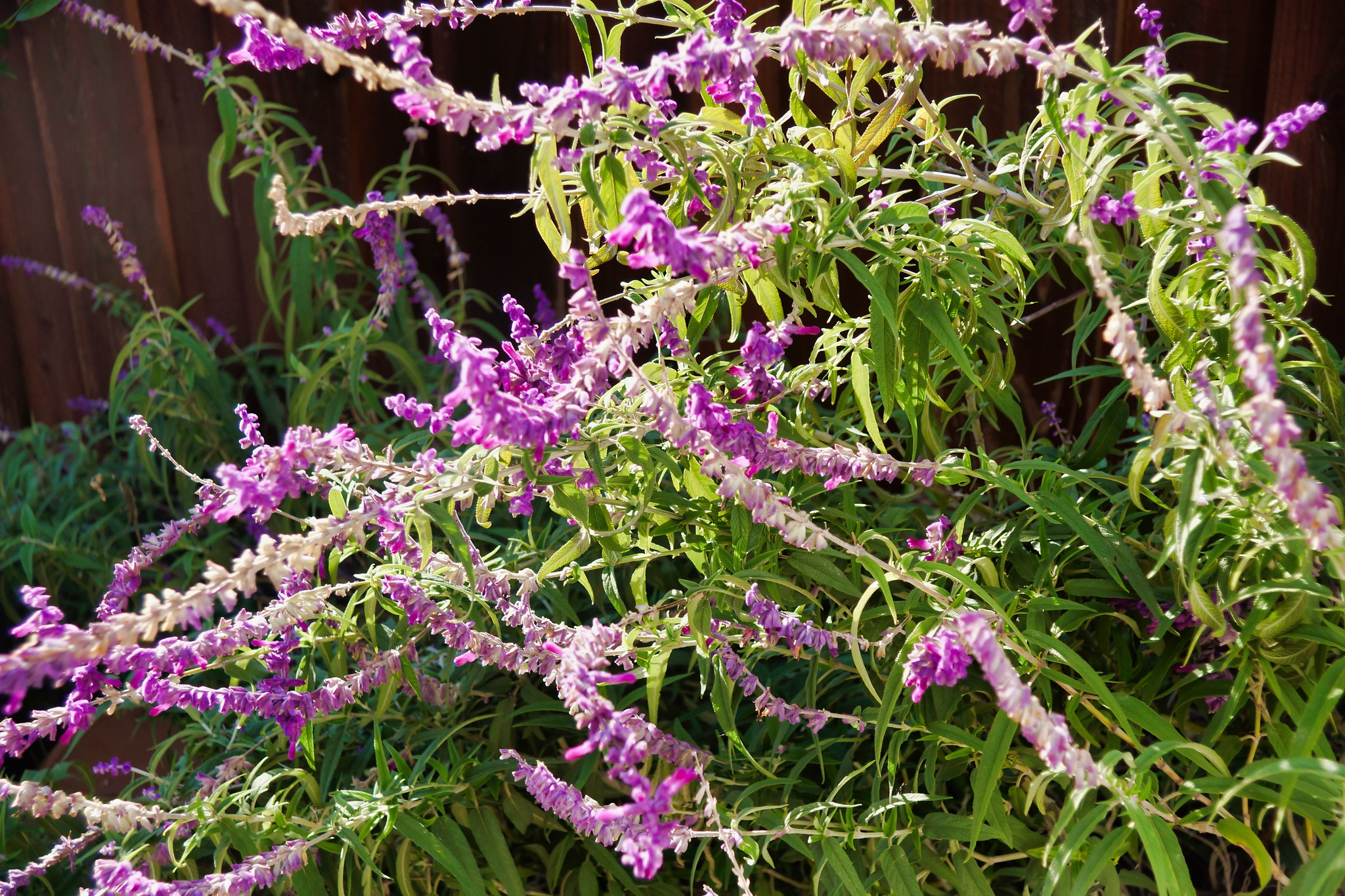 2019-01-23 - Nature Photography - Lavender