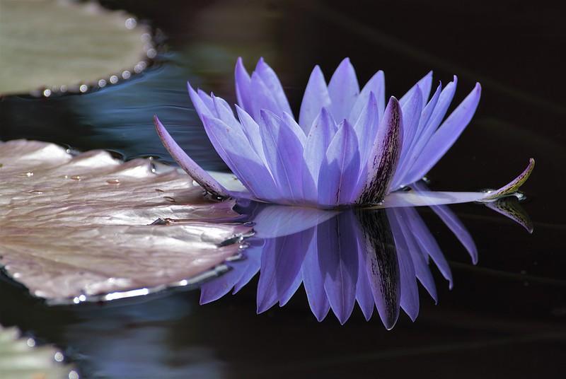 Обои листья, вода, отражение, лепестки, кувшинка, нимфея картинки на рабочий стол, раздел цветы - скачать