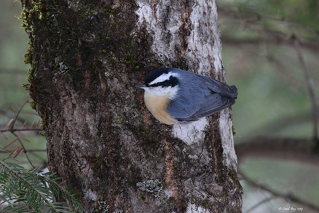 1.20490 Sittelle à poitrine rousse / Sitta canadensis / Red-breasted Nuthatch