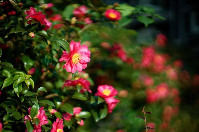 Обои листья, розовая, нежность, лепестки, бутон, цветение, камелия картинки на рабочий стол, раздел цветы - скачать