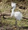 Snowy Egret (breeding) by barbmerrill2
