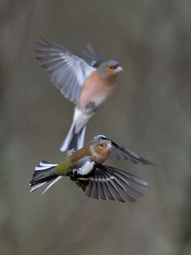 D457705 Chaffinches | by Nick Sidle