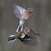 D457705 Chaffinches