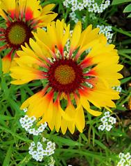 Yellow spiral flower