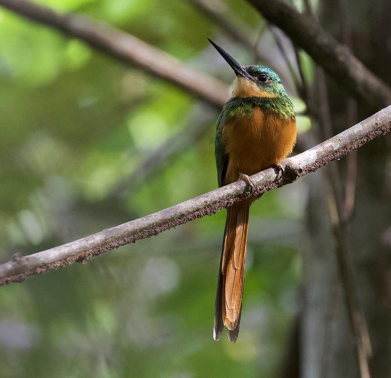 Rufous-tailed Jacamar, Galbula ruficauda Ascanio_Colombia 199A1698