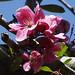 Hopa_flowers
