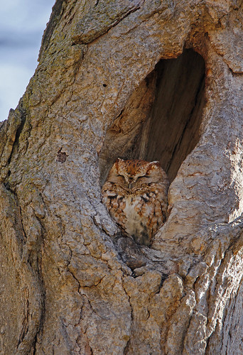 Screech Owl | by k_whattam