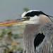 Flickr photo 'Great Blue Heron (Ardea herodias)' by: Mary Keim.