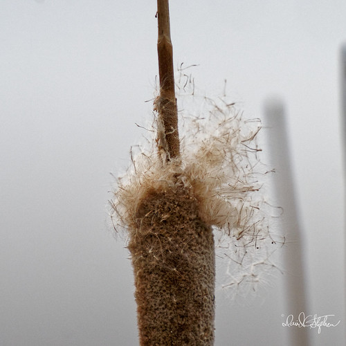 Old Cattail | by dcstep