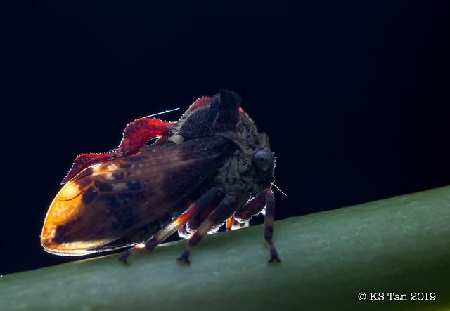 Treehopper (Membracidae) 2G1A7050