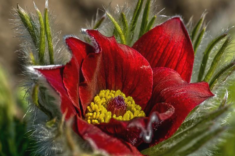 Обои макро, сон-трава, анемон картинки на рабочий стол, раздел цветы - скачать