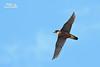 Orange-breasted Falcon by Nicola Destefano - Wildlife Photography