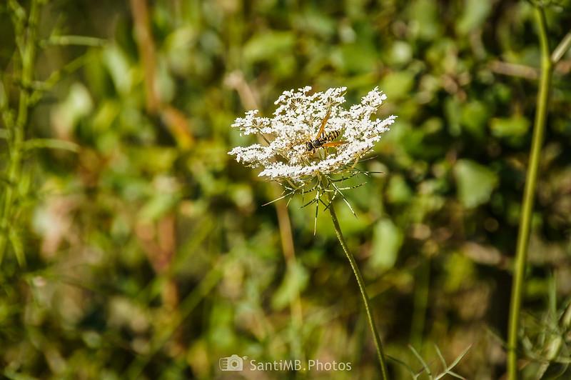 Avispa cartonera sobre flores de zanahoria silvestre