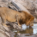 The king drinking water after a kill. by ilana.block