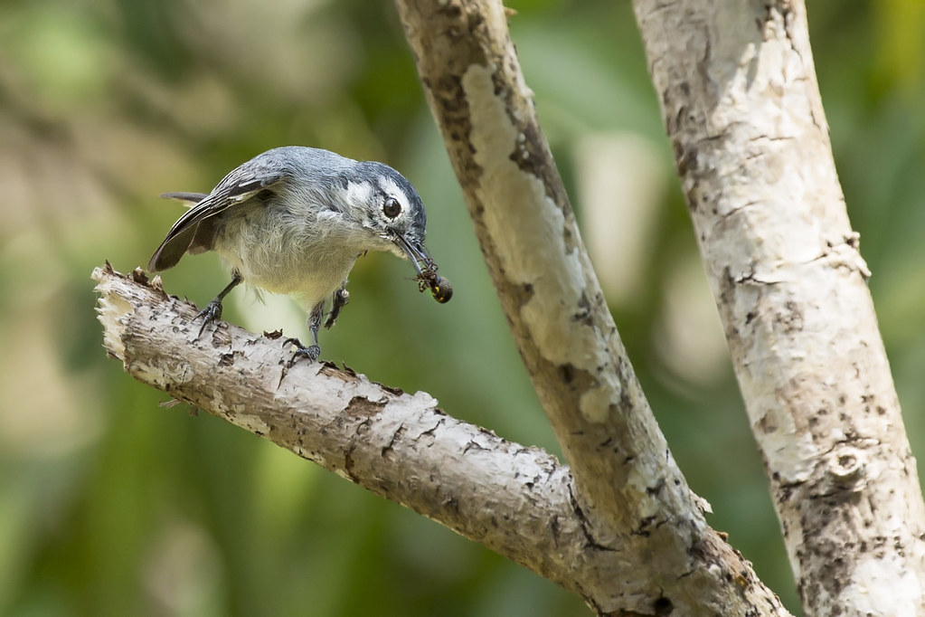 Tropical Gnatcatcher (Polioptila plumbea) 7 032019