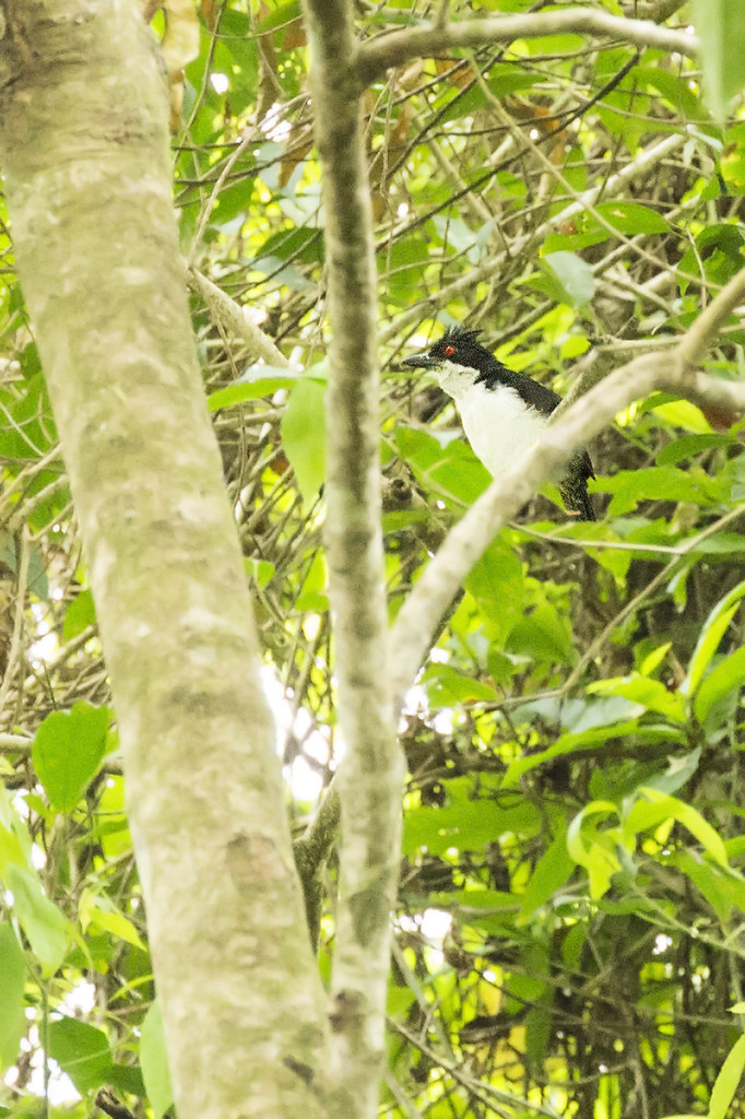 Great Antshrike (Taraba major) 1 031919