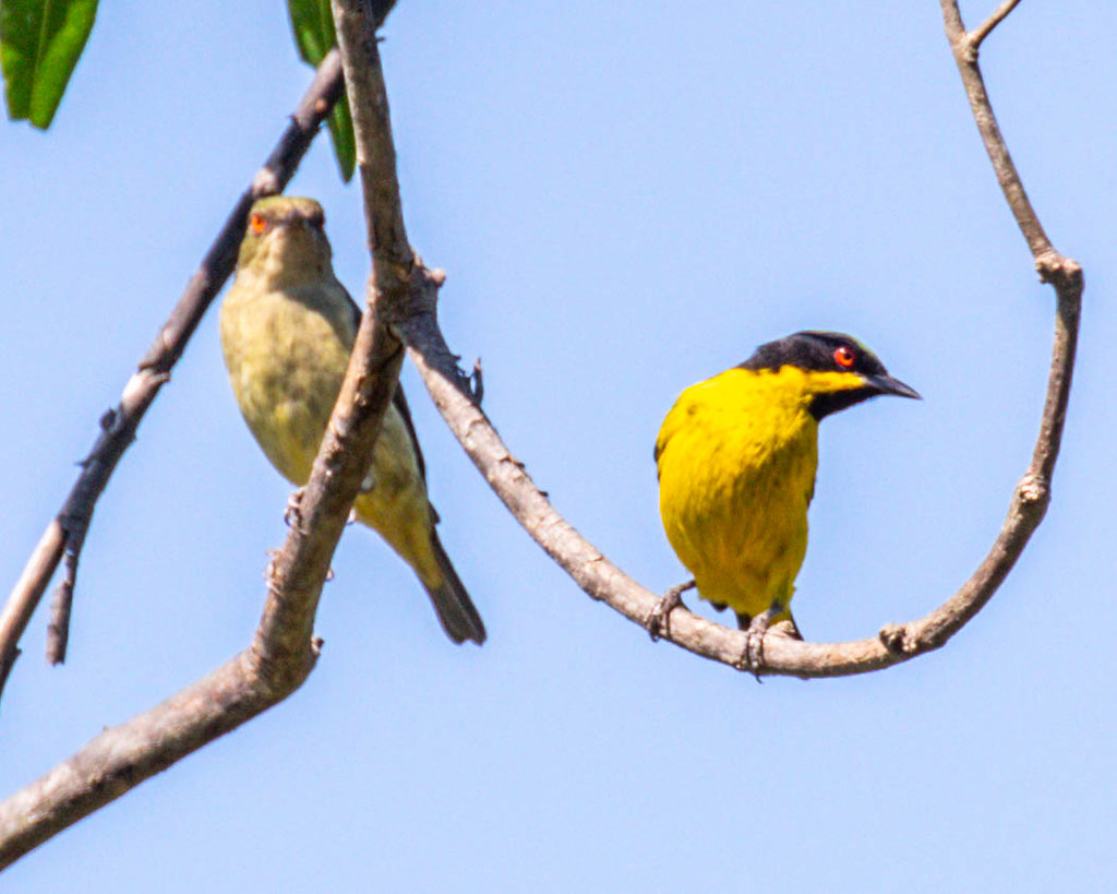 DACNIS, Yellow-bellied